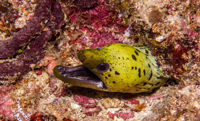 fimriated moray eel